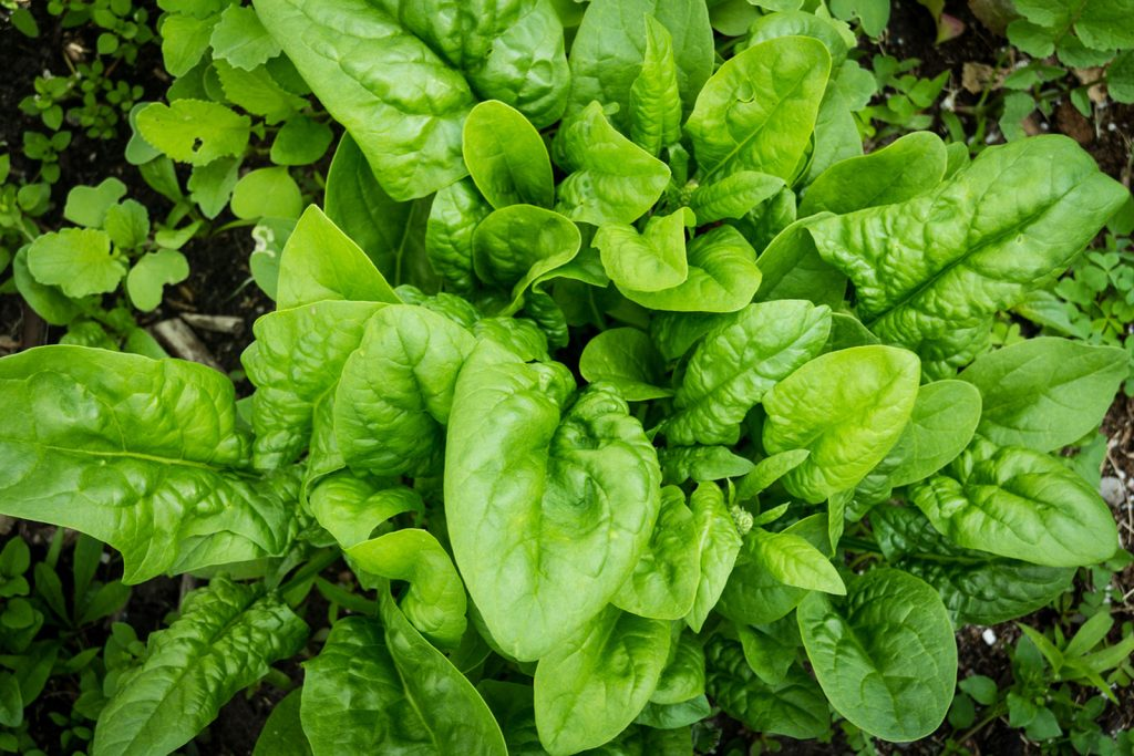 Learn More About Health Benefits of Spinach